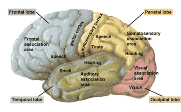 Youth transitioning: image of the brain and what each part does.